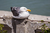 Seagull on a Stone (AndreasGarcia) Tags: color bird animal digital canon photography wildlife seagull canon5d ef28135f3556isusm