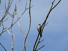 Kingbird (Keith Michael NYC (4 Million+ Views)) Tags: nyc ny newyork si statenisland kingbird mountlorettouniquearea