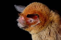 Common mustrached Bat