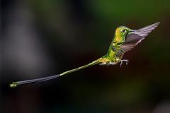 Colibr VI (reprocesada) (Jos M. Arboleda) Tags: bird canon eos colombia hummingbird jose ngc ave 5d colibr arboleda markiii trochilidae greatphotographers ef70200mmf4lisusm coconuco apodiforme mygearandme josmarboledac blinkagain troquilinos