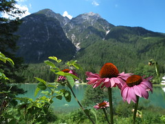 Enchantment! Incanto! (SissiPrincess) Tags: pink flowers sky lake verde green lago colours echinacea rosa cielo fiori azzurro colori italianalps lightblue topshots natureplus photosandcalendar mountainplace lagodidobbiaco dobbiacolake alpiitaliane panoramafotogrfico mindigtopponalwaysontop theoriginalgoldseal mygearandme mygearandmepremium mygearandmebronze mygearandmesilver flickrsportal esenciadelanaturaleza luogodimontagna