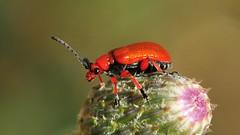 Bakmıyormuşum gibi çek abi (Atakan Eser) Tags: flower nature bug v2 tabiat böcek dsc4134 çiçek doğa