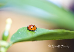 IMG_9889 (♥ MissChief Photography ♥) Tags: insect bugs ladybird insecte lovebug coccinelle