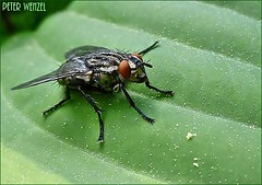 Graue Fleischfliege... (peterphot) Tags: lumix natur mai insekten fliegen makros
