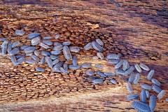 Oniscidae (Lars L. Iversen) Tags: oniscidae