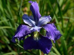 The Bold and the Beautiful (Eddie C3) Tags: newyorkcity flowers gardens gardening botanicalgardens siberianiris riverdale wavehill irissibirica