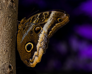 Caligo sp Explored 05/17/2015 #14
