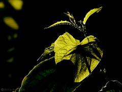 Backlighting (explore) (roizroiz) Tags: portrait plants artistic magic mothernature backlighting i500 plantsvs flowersflowerpetalpetalsnaturebeautifulloveprettyplantsblossomsoprettyspringsummerflowersofflowerstylesgfflowersloversflowerpornbotanicalfloralfloralsflickrpickblossomflowermagicflickrbloomsbloombloomsbotanicaloftheday plantsportrait