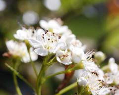 Ornamental Plum...I Think 05182015 (Orange Barn) Tags: flowers white spring blooming floweringtree ferngreen pekinillinois mineralspringspark 365daysincolour pekinparkdistrict