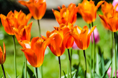 Tulips (fiwflip) Tags: park red orange green vancouver nikon tulips stanley 18200mm d5100