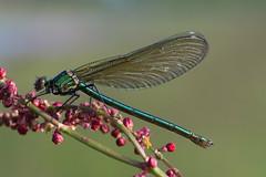 weidebeekjuffer (Calopteryx splendens) (peter nijland) Tags: macro nature dragonfly natuur tamron 90mm twente libel dinkelland