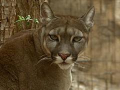 cougar (Linda DV) Tags: geotagged lumix spain panasonic tenerife canaryislands islascanarias 2015 geomapped lindadevolder lasguilasjunglepark
