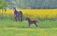 Pferdeglck im Mai (juliane.herrmann) Tags: weide wiese raps pferd hengst stute haselau springpferd hengstfohlen marschcaf