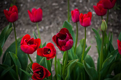 Medicine for the Heart (cristian_jordache) Tags: tulips skagit county pacific red seattle d90