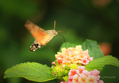 Hovering (~ **Barbara ** ~) Tags: menorca spain beautiful hot clouds sunshine sun sea sand holiday vacation canon7dii hummingbirdhawkmoth moth daytime tiny small fast quick dartingabout nectar flowers