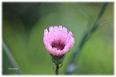 pink (christinehag) Tags: pink wildflower flower plant nature