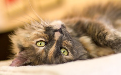 My girl Isabella (suzeesusie) Tags: cat cats furry cute eyes portrait katze tortie tortoiseshellcat animal animals pet pets tortitude rescued adopted whiskers