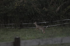 _MG_1828 (thinktank8326) Tags: deer whitetaileddeer fawn doe babyanimal babydeer