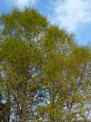 Willow (Dendroica cerulea) Tags: salix salicaceae malpighiales tree plant leaves willow wetlands battlefield autumn plumrun civilwar gettysburgnationalmilitarypark gettysburg adamscounty pa pennsylvania