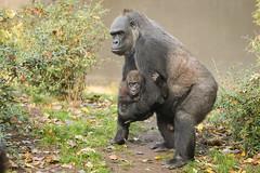 2016-10-29-12h02m25.BL7R4158 (A.J. Haverkamp) Tags: canonef100400mmf4556lisiiusmlens shae amsterdam noordholland netherlands zoo dierentuin httpwwwartisnl artis thenetherlands gorilla pobrotterdamthenetherlands dob03061985 pobamsterdamthenetherlands dob21012016 nl shindy sindy