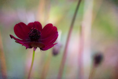Autumn Reverie (Colormaniac too) Tags: chocolatecosmos perennial flower autumn season colorful botanical garden reverie bokeh macro blossom sequim olympicpeninsula washingtonstate pacificnorthwest topaztextureeffects distressedtextures wow
