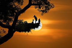 Cenas da Vida Selvagem no Pantanal, Brasil - Femea de Tuiui em seu ninho com seu filhote (Fandrade) Tags: ave aves animais brasil fauna flora matogrosso natureza pantanal tuiui jabiru jabirumycteria tuiuialimentandofilhote ninhodetuiui filhotedetuiui birds animals brazil nature tuiuifeedingpuppynesttuiuipuppytuiui vidaselvagem wildlife fandrade andrade franciscoandrade tuimdepapovermelho tuiuidepapovermelho animal rvore planta pordosol