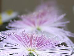 Kudamono (s.itto) Tags: shinjukugyoen autumn chrysanthemum november morifolium