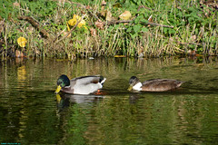 Ducks in Westzaan. (PhotoTJH) Tags: 1551 beauty bladeren blauw blauwe blue bomen colors daytime ditch dolfijnstraat dolphijnstraat dorp fotografie gras grass green groen lake landscape landschap leaves moisture morning nature natuur nederland netherlands noordholland ochtend ochtendgloren outdoor overdag phototjh phototjhnl riet ruimte schoonheid sloot slootje sun sunny sunrise tamron 16300mm trees uitzicht view village vocht water weather weiland westzaan westzaannoord zaanstad zon zonnig duck ducks eend eenden