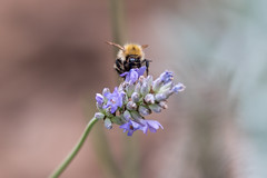 Bee on Lavender (Natural Photography by CJH) Tags: natural wildlife nature wild nikon d750 telephoto 300mm pf f4 300mmf4 300f4 nikkor pfedvr bee lavender bokeh blur insect macro