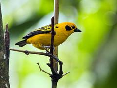 IMG_2075 Golden Tanager (suebmtl) Tags: bird goldentanager ecuador mindo lindomindo pichinchaprovince tangeraarthus tangaraarthus