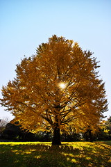 Autumn leaves IV (kazs2307) Tags: autumn leaves outdoor tree light