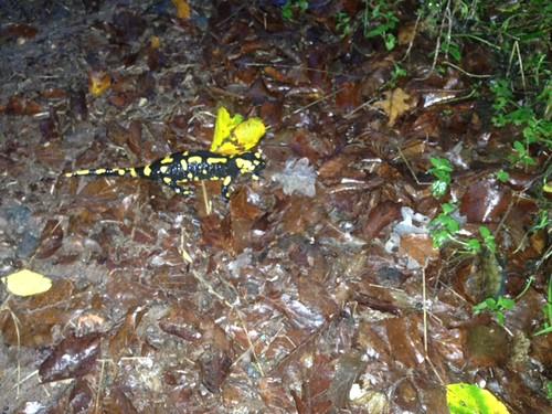 Feuersalamander (Salamandra salamandra) (2), NGIDn1003454250