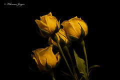 Small Yellow Roses 1031 Copyrighted (Tjerger) Tags: nature beautiful beauty black blackbackground bloom bunch closeup fall flora floral flower green group macro petals plant portrait roses small stems wisconsin yellow natural