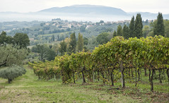 Umbrian countryside (tcd123usa) Tags: leicadlux4 italianlandscape grapevines olivegrove olivetrees
