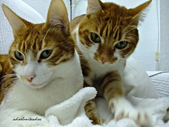 Entre algodones  015 (adioslunitaadios) Tags: gatos mascota pelirrojos gemelos gatocomún fujifilm macros sutileza chuliynena