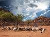 Namibia - Sheeps and goats (sharko333) Tags: travel voyage reise africa afrika afrique namibia landscape dessert rock stone animal herd sheep goat olympus em1