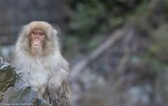 THinking (ympondaven) Tags: yadanaka thermal monkey japan nakano animal