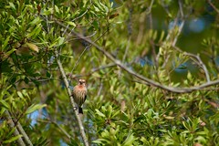 Orange Male House Finch (northamericaroks) Tags: outdoor nature finch bird ave pajaro charlottesville urban feeder