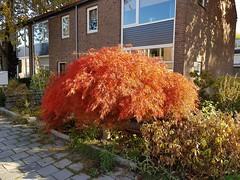 #Autumn at its best: Japanese #Maple 🍁 #JapanseEsdoorn #Esdoorn #Acer #AcerPalmatum #JapaneseMaple #Tilburg #Netherlands  Picture #Samsung #GALAXYS7Edge 📷 (henklbrNL) Tags: acer autumn acerpalmatum maple galaxys7edge japanesemaple japanseesdoorn samsung tilburg netherlands esdoorn