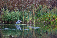 Grey Heron (smflickr2012) Tags: greyheron wildlife water green outdoors pond nature park lake canon 500d