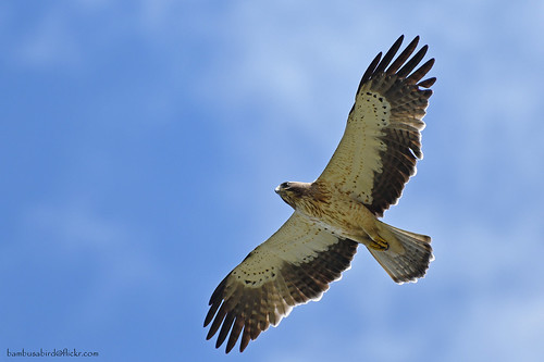 อินทรีเล็ก / Booted Eagle / Aquila pennata (pale morph)