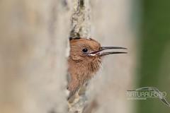 Piccolo di Upupa affacciato al nido