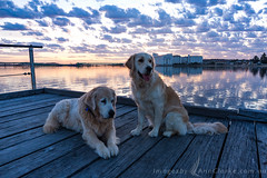 My faithful companions (Images by Ann Clarke) Tags: eyrepeninsula goldenretriever portlincoln refelections southaustralia