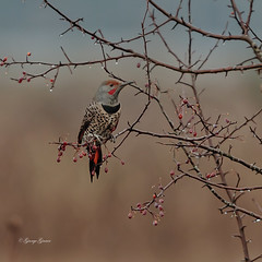 Northern Flicker (Photos_By George) Tags: northernflickers birds woodpeckers nature wildlife outdoor plant blossom branchlet cherryblossom tree