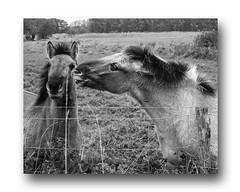 The Herd (mayaplus) Tags: horses herd belgium blackwhite nature