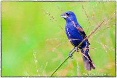 Blue Grossbeak (RKop) Tags: a77mk2 600mmf4apogminolta armlederpark cincinnati ohio sony raphaelkopanphotography