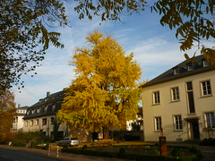 Ginkgo & Hospiz-Haus (Jörg Paul Kaspari) Tags: trier hospizhaus hospiz ginkgo biloba ginkgobiloba herbstfärbung autumncolor herbst autumn fall ostallee gelb gel be yellow vorplatz