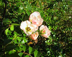 November Roses (JulieK (finally moved to Wexford)) Tags: flower roses jfkarboretum wexford canonixus170 flora light autumn ireland irish beautifulnature