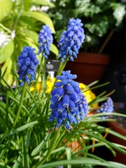Kew Gardens March 2016 (herbman101) Tags: nature photo uk england london richmond kew kewgardens royalbotanicalgardens royalbotanicgardens flower flowers greenhouse daviesalpinehouse muscari muscarisp muscariarmeniacum hyacinth grapehyacinth