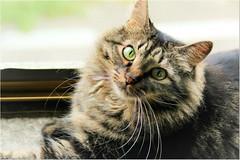 My sweetness Lucy  (Simply Viola) Tags: cat gato katzen kot pet feline animal felino